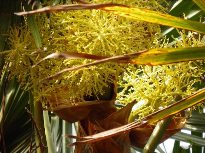 Inflorescence de Palmier